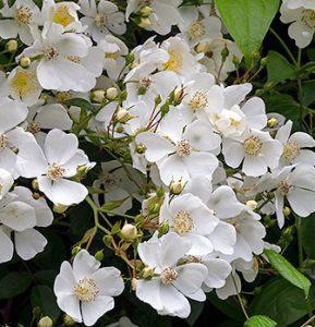 "Rambler Rose ""Rosa mulliganii"" flowers"