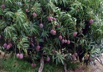 wachsen in deutschland mangos