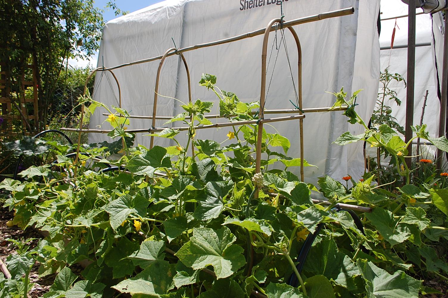 Klettergerüst Für Himbeeren : Zwei wochen nutzgarten: johannistag bis 8. juli das reh im garten
