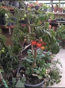 Tomate2-B